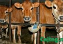 'SUPER HRANA': Teliček ni nič drugega kot zgolj kolateralna škoda pri mlekarski industriji, zakolje se ga starega le par mesecev!